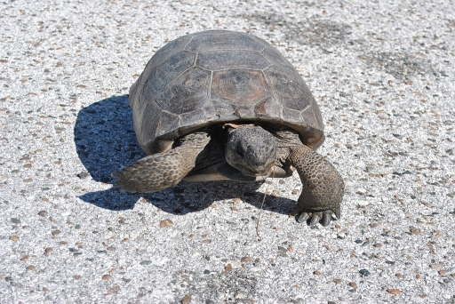 Big turtle at Honey Moon Island Statepark - what a welcome!