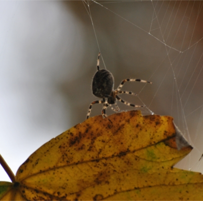 Autumn, a noisance for spiders